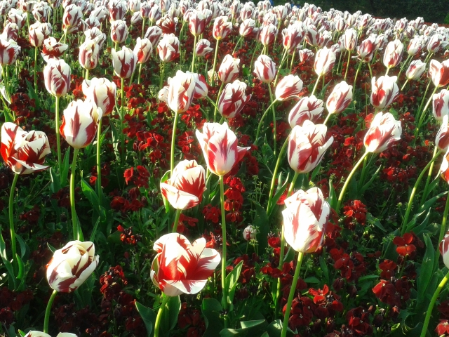 Tulipas no Saint Stephen's Green Park