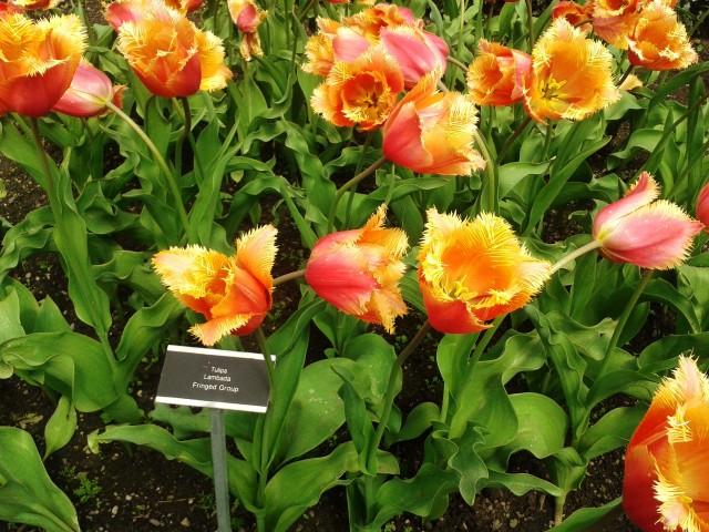 TulipaLambada.jpg