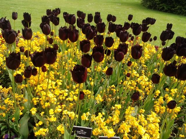 TulipaNegra.jpg